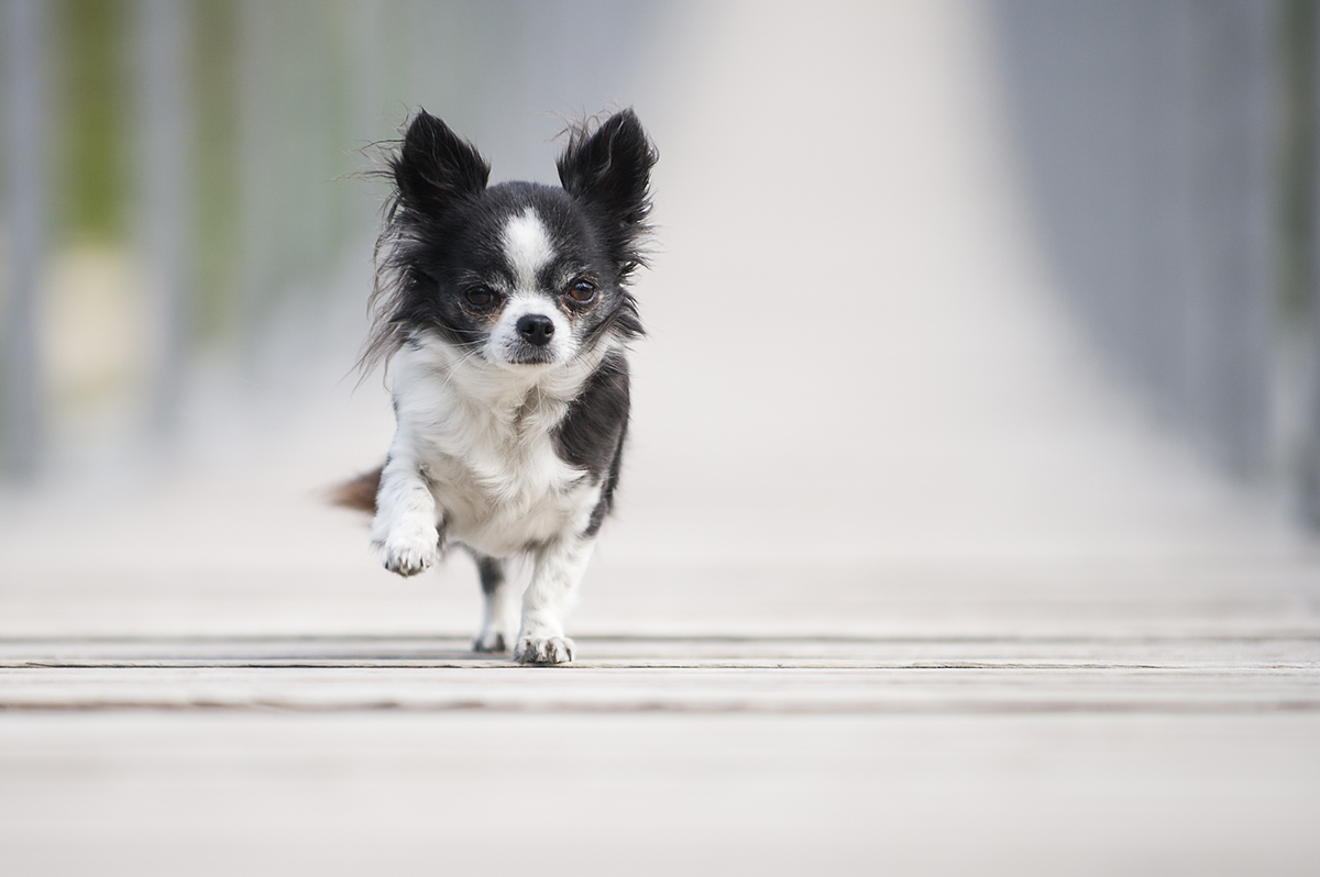 andyfritschi, Ch, Chihuahua