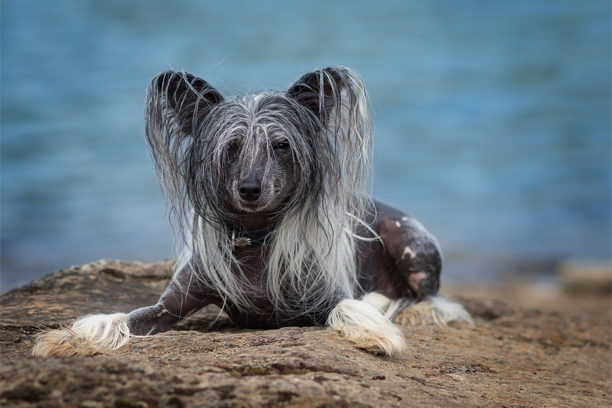 andyfritschi, Chinese Crested